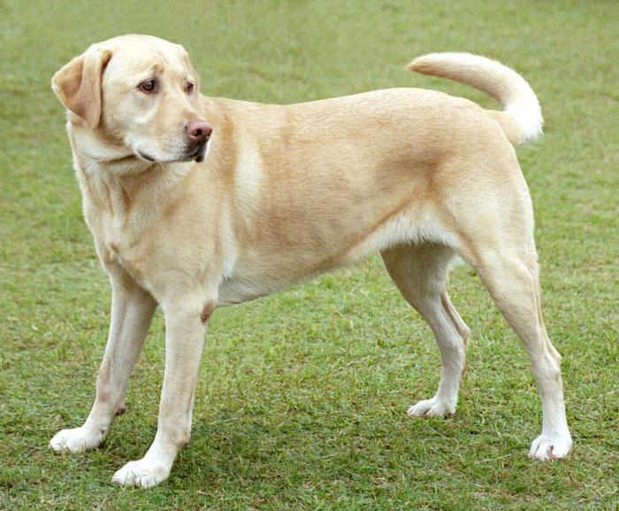 Labradorsky retriever